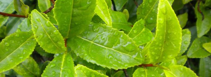 hojas-te-verde