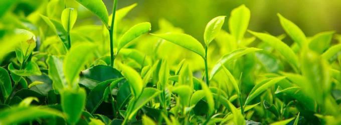 te-verde-plantas