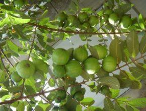 imágenes de hojas de guayaba para la diabetes