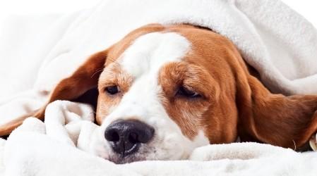 18+ Remedios caseros para tratar la Tos de las Perreras en los perros