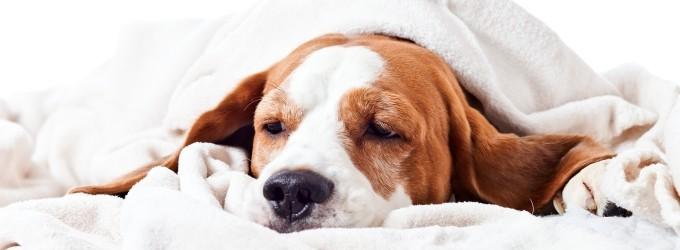 inflamacion de garganta en perros remedios caseros