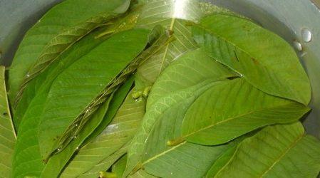 Remedio milagroso de hojas de guayaba para la diabetes
